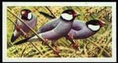 Tropical Birds blue back 1961