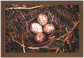 Nests and Eggs of British Birds 4th Series 2007
