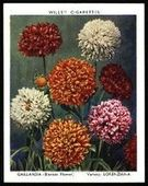 Garden Flowers New Varieties 2nd Series 1939
