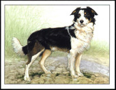 Dogs Border Collies 1999