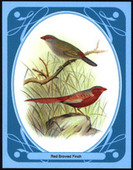 Finches by Butler and Frohawk (1899) 2010